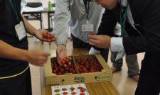【ミニトマト】品質向上切り札「小鈴エル」/JAあまくさ