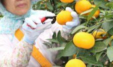【ハウスミカン】糖酸が調和 玉太り良好 ギフトに人気/JA熊本市