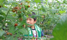 【ミニトマト】生産量日本一 親子体験農園で収穫/JAたまな