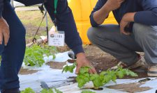 【セルリー】先進農家が毎月巡回 収量・所得・部員増に成果/JA鹿本