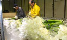 【カラー】シーズン入り 関東・関西へ22万本 まずは年内に照準/JA熊本市