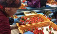 【イチゴ】作業を軽減 南部地区のパックセンター大忙し/JA阿蘇