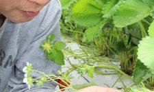 【イチゴ】出荷順調 着果制限 天敵を導入 JA熊本市白浜部会