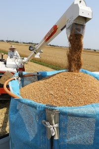 コンバインからトラックに積み込まれる小麦