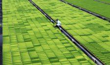【米】水稲苗 供給ピーク/JA熊本うき