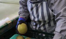 【梨】「豊水」お待たせ 贈答小箱販売に引き 仕上がり上々/JA熊本市