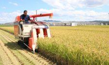 【米】台風前に早期米収穫 「キヌヒカリ」出来上々/JAたまな