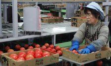 【トマト】「はちべえトマト」出荷大忙し 良食味で大玉傾向 生産者も選果応援/JAやつしろ