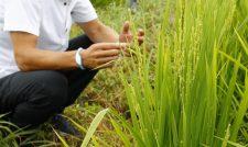 水稲、ウンカに注意 「ヒノヒカリ」「くまさんの輝き」 展示圃を巡回 JAくま
