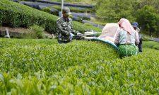 一番茶摘採 生育順調、品質も良好 熊本・JAくま