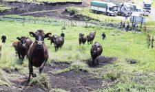 草原駆け上る JA菊池一貫繁殖牛部会が放牧