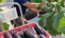 「ヒゴムラサキ」高評価 昨年より早い収穫 JA阿蘇南部なす部会
