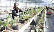 イチゴ苗定植 20トン出荷計画 熊本・JAあしきた