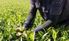 秋冬番茶 摘採が最盛 例年以上に品質良好 熊本・JAくま
